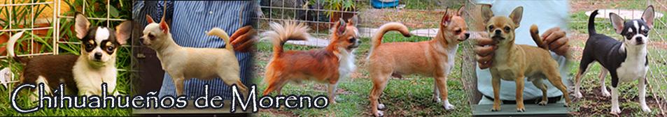 Chihuahuas de Moreno